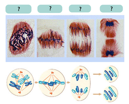 mitosis_phases
